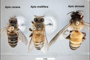 Les différentes apis mellifera